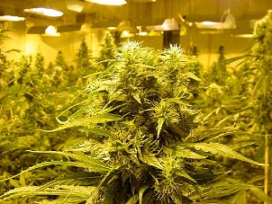 St Louis, MO. Marijuana Growers Insurance